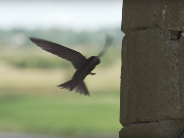 swift-birdwatch-ireland